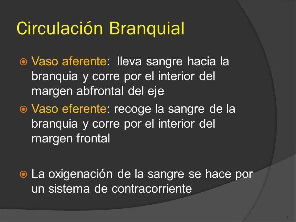 Circulación Branquial Vaso aferente: lleva sangre hacia la branquia y corre por el interior del margen abfrontal del eje Vaso eferente: recoge la sang