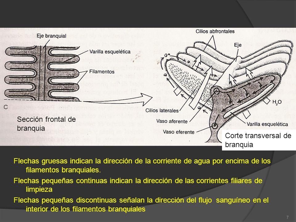 18 Corriente ventilatoria en prosobranquios