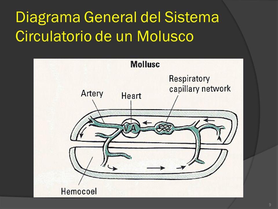 Diagrama general de la anatomía de un cefalópodo mostrando la ubicación de las branquias, el sistema circulatorio cerrado y el flujo de agua.