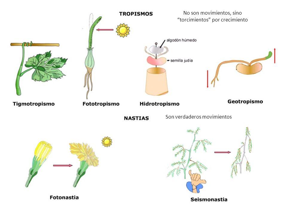 http://3.bp.blogspot.com/- Welh5kRxClY/UKPGFhDa- HI/AAAAAAAAAFc/V0vrYx28jUM/s1600/Tropis mos+y+nastias.bmp No son movimientos, sino torcimientos por crecimiento Son verdaderos movimientos