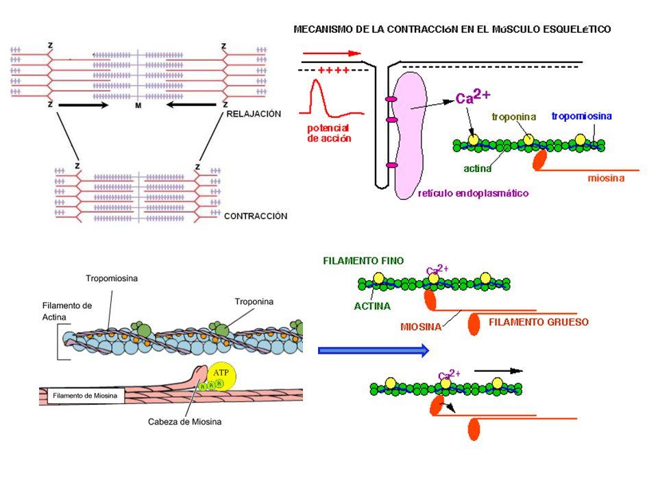 http://www.revi staciencias.com /publicaciones/ EpZZpVVlluLgIn hNqd.php http://www.monografias.com/trabajo s57/contraccion- muscular/contraccion- muscular2.shtml http://www.genomasur.com /BCH/BCH_libro/imagenesca p_10/23%20A.JPG