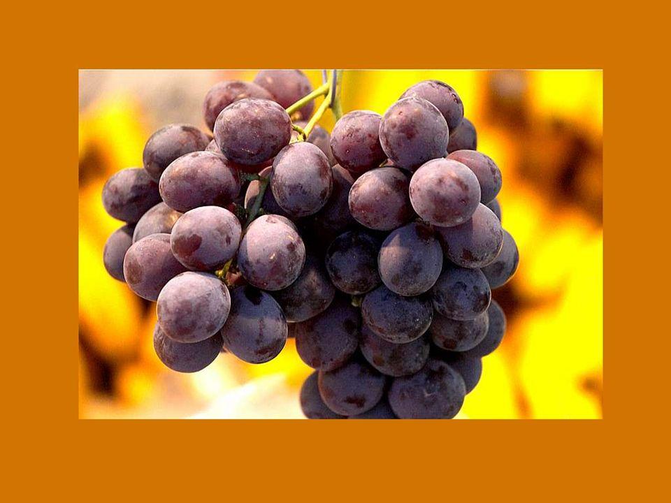 Dios no ha querido que el noble vino se pierda; Es por eso que no nos da sólo la viña,sino también la debida sed.