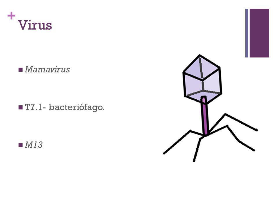 + Virus Mamavirus T7.1- bacteriófago. M13