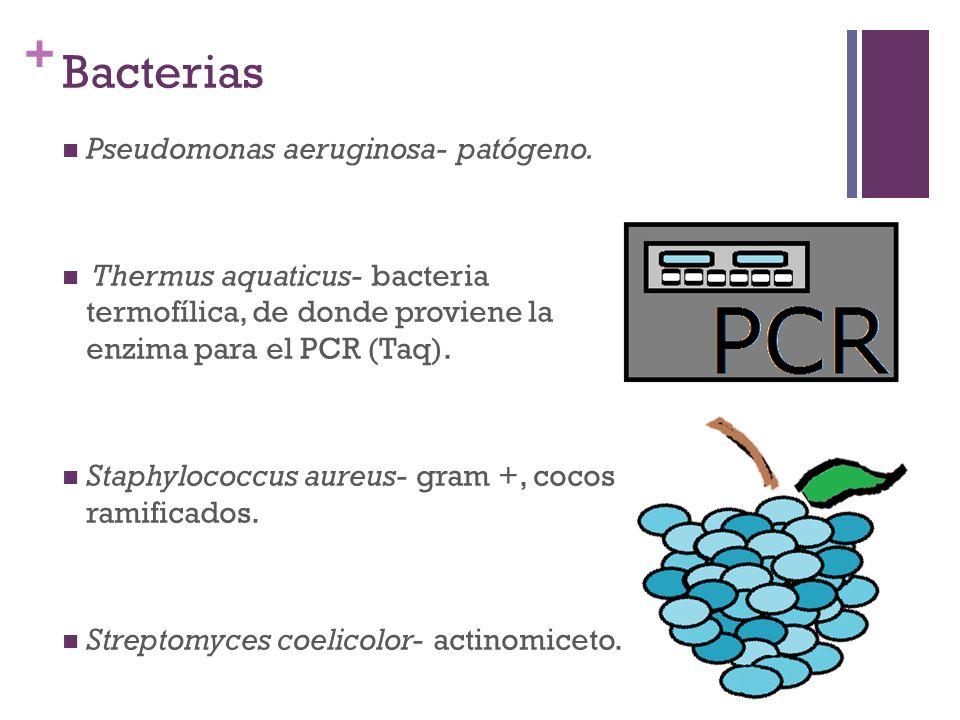 + Bacterias Pseudomonas aeruginosa- patógeno. Thermus aquaticus- bacteria termofílica, de donde proviene la enzima para el PCR (Taq). Staphylococcus a