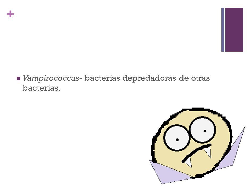 + Vampirococcus- bacterias depredadoras de otras bacterias.