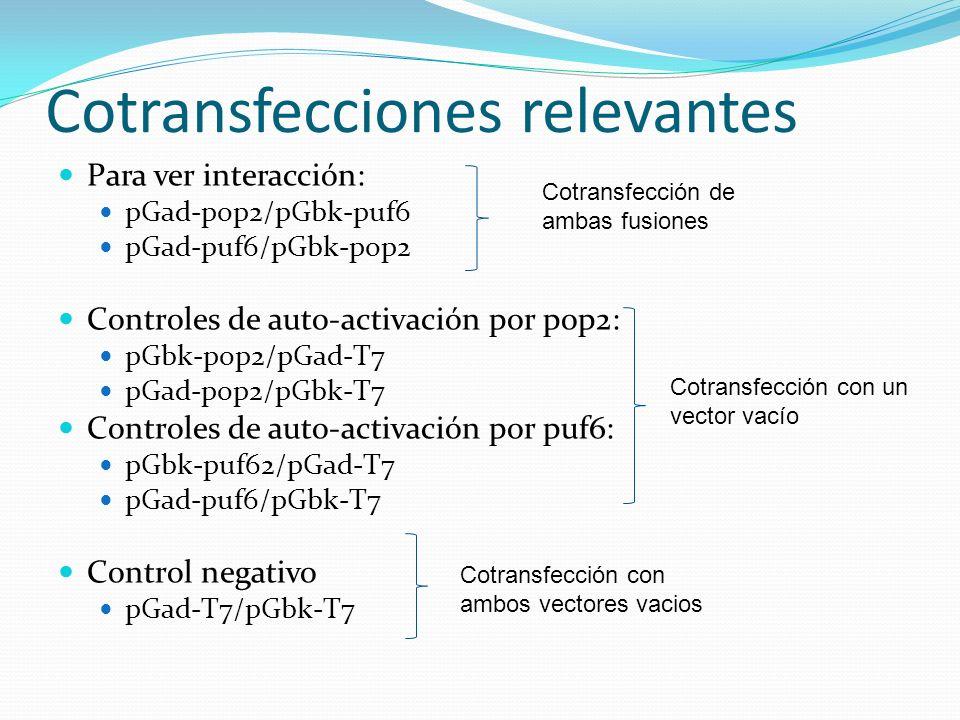 Cotransfecciones relevantes Para ver interacción: pGad-pop2/pGbk-puf6 pGad-puf6/pGbk-pop2 Controles de auto-activación por pop2: pGbk-pop2/pGad-T7 pGa