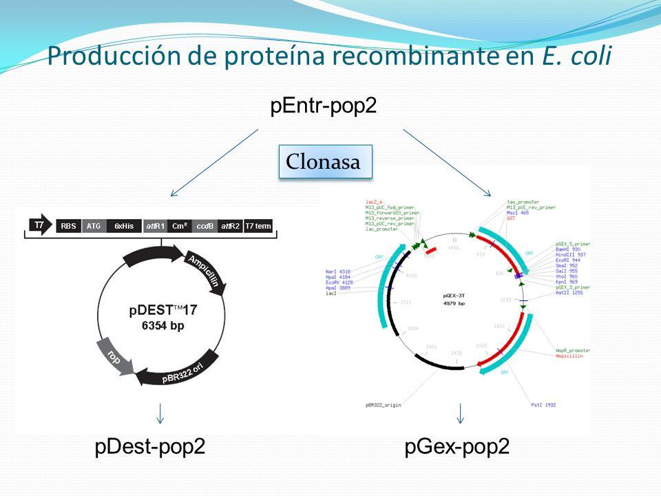 Producción de proteína recombinante en E. coli pEntr-pop2 Clonasa pDest-pop2pGex-pop2