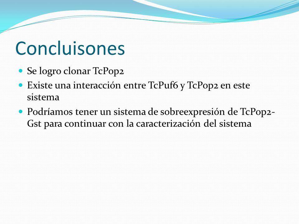 Concluisones Se logro clonar TcPop2 Existe una interacción entre TcPuf6 y TcPop2 en este sistema Podríamos tener un sistema de sobreexpresión de TcPop