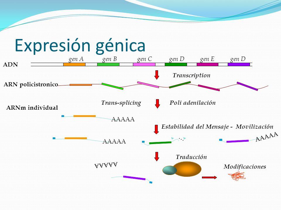 Expresión génica gen A gen B gen C gen D gen E gen D ADN Estabilidad del Mensaje - Movilización AAAAA … Transcription AAAAA Modificaciones Trans-splic