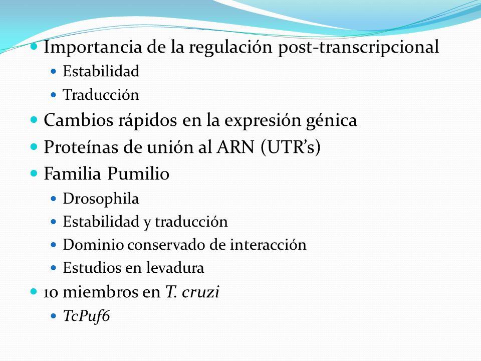 Importancia de la regulación post-transcripcional Estabilidad Traducción Cambios rápidos en la expresión génica Proteínas de unión al ARN (UTRs) Famil