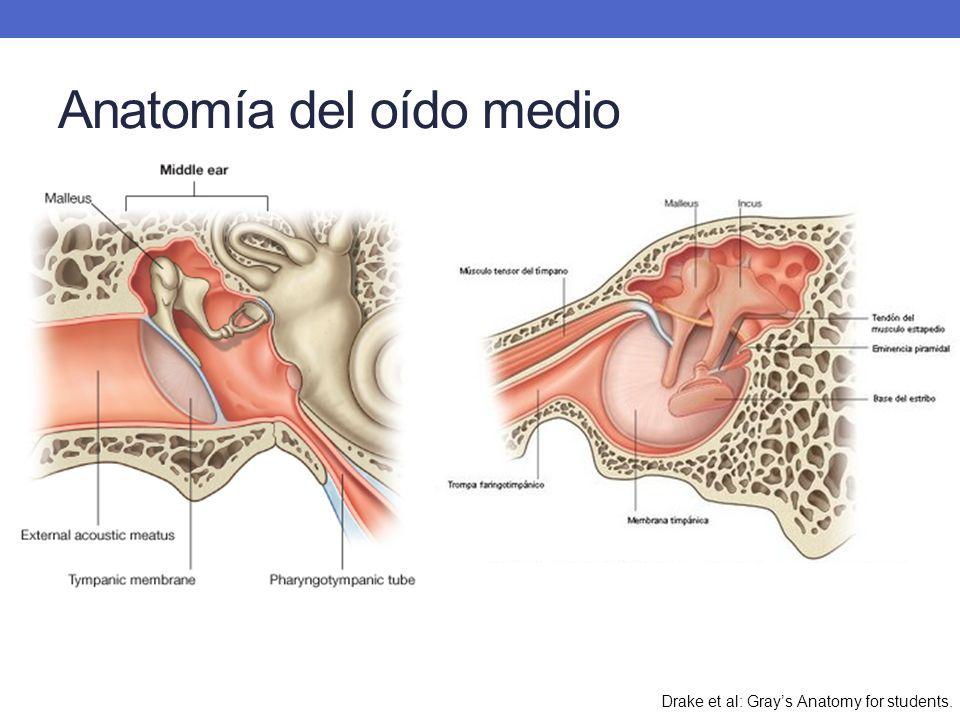 Anatomía del oído medio Drake et al: Grays Anatomy for students.