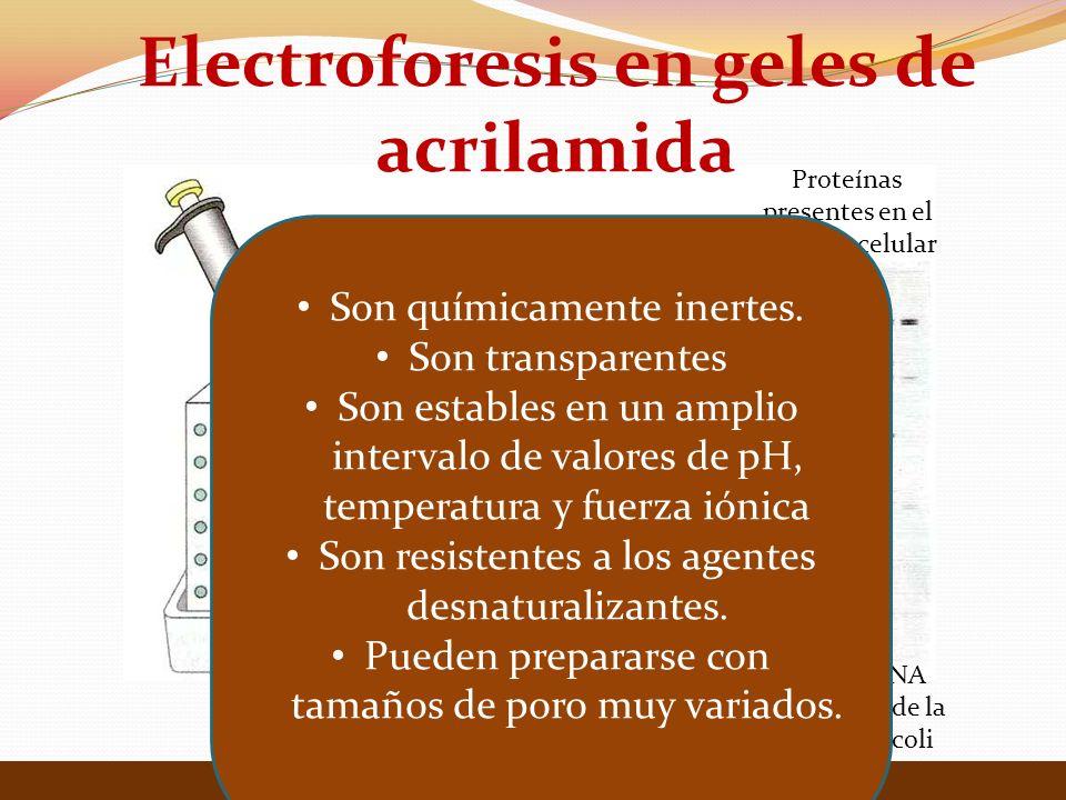 Electroforesis en geles de acrilamida Lehninger Principios de Bioquímica 4ta Edición Proteínas presentes en el extracto celular Enzima RNA polimerasa de la bacteria E coli Son químicamente inertes.