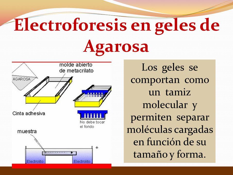 Electroforesis en geles de Agarosa Los geles se comportan como un tamiz molecular y permiten separar moléculas cargadas en función de su tamaño y forma.