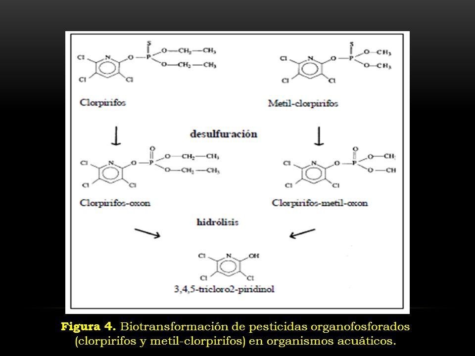 Figura 4. Biotransformación de pesticidas organofosforados (clorpirifos y metil-clorpirifos) en organismos acuáticos.