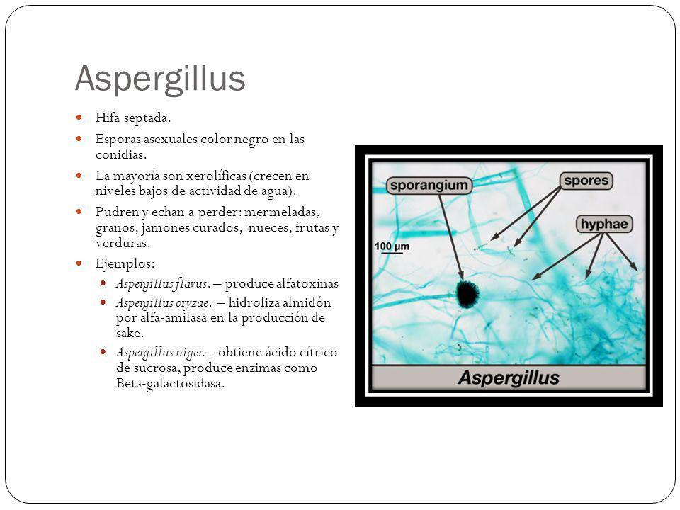 Aspergillus Hifa septada. Esporas asexuales color negro en las conidias. La mayoría son xerolíficas (crecen en niveles bajos de actividad de agua). Pu