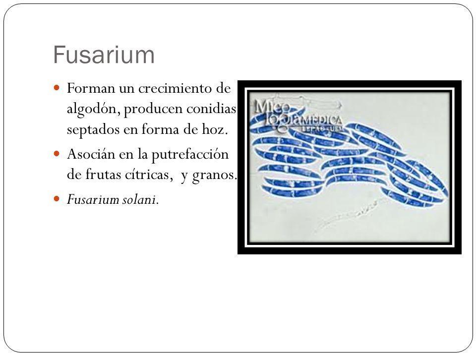 Fusarium Forman un crecimiento de algodón, producen conidias septados en forma de hoz. Asocián en la putrefacción de frutas cítricas, y granos. Fusari