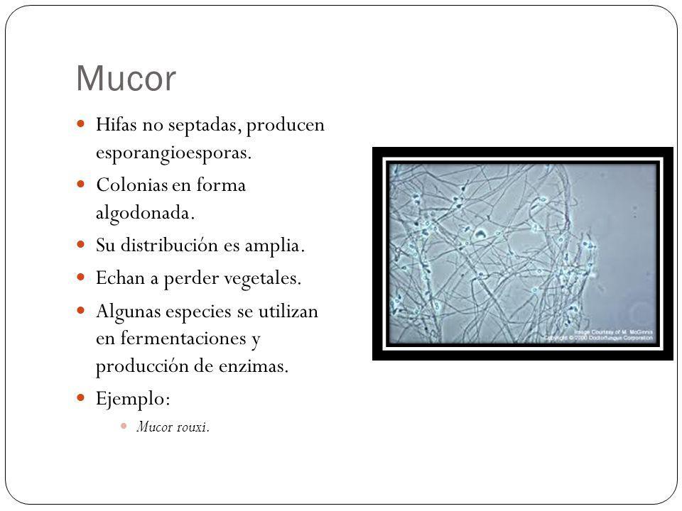 Mucor Hifas no septadas, producen esporangioesporas. Colonias en forma algodonada. Su distribución es amplia. Echan a perder vegetales. Algunas especi