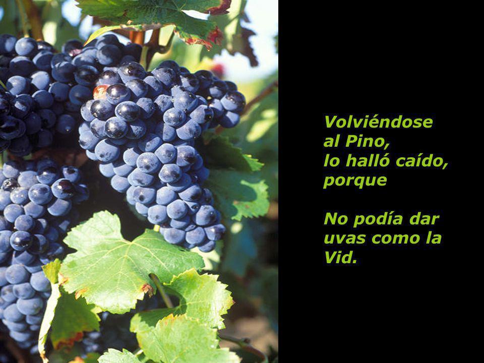 Volviéndose al Pino, lo halló caído, porque No podía dar uvas como la Vid.