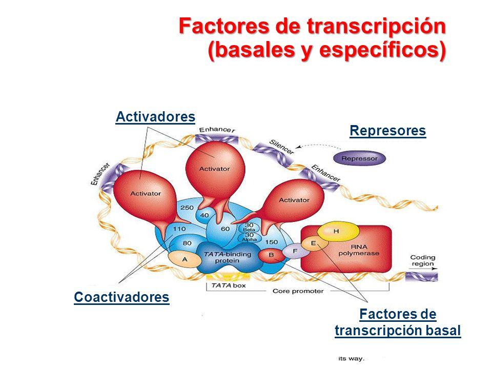 Factores de transcripción (basales y específicos) Activadores Represores Coactivadores Factores de transcripción basal