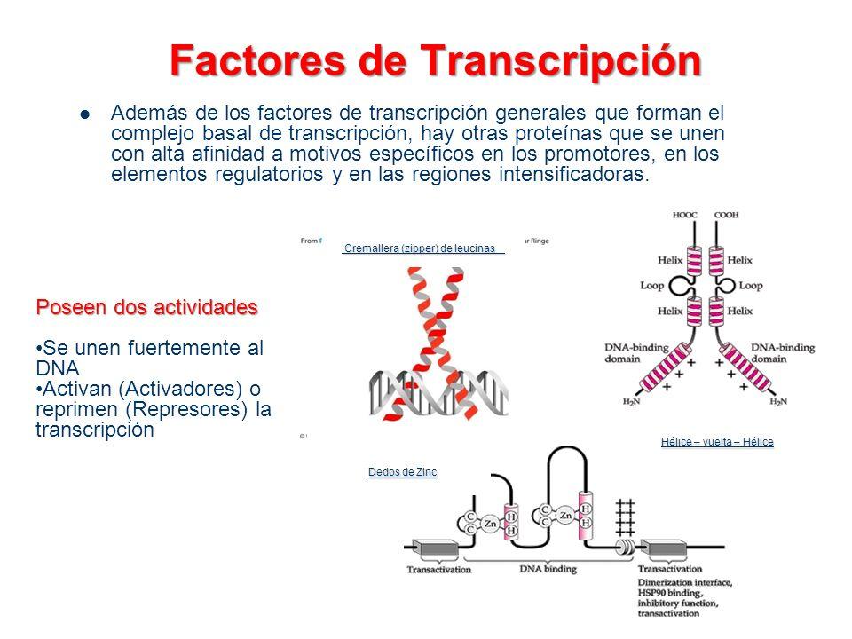 Factores de Transcripción Además de los factores de transcripción generales que forman el complejo basal de transcripción, hay otras proteínas que se