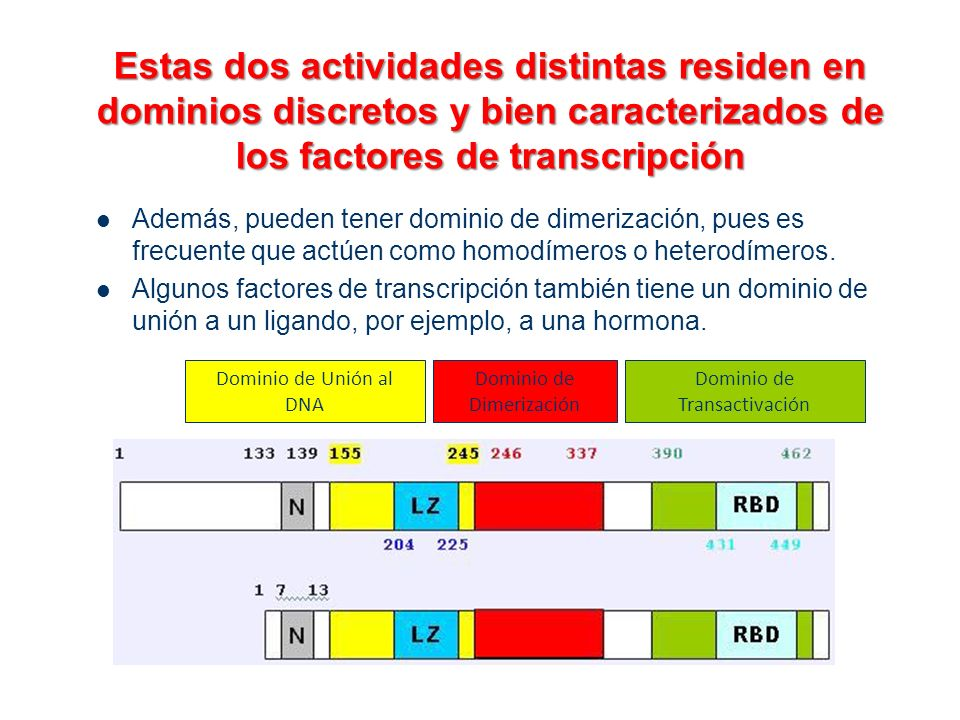 Estas dos actividades distintas residen en dominios discretos y bien caracterizados de los factores de transcripción Además, pueden tener dominio de d
