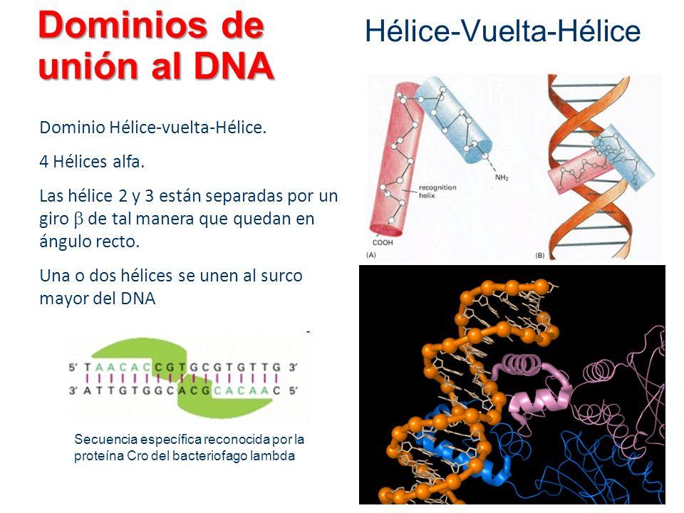 Dominios de unión al DNA Hélice-Vuelta-Hélice Dominio Hélice-vuelta-Hélice. 4 Hélices alfa. Las hélice 2 y 3 están separadas por un giro de tal manera
