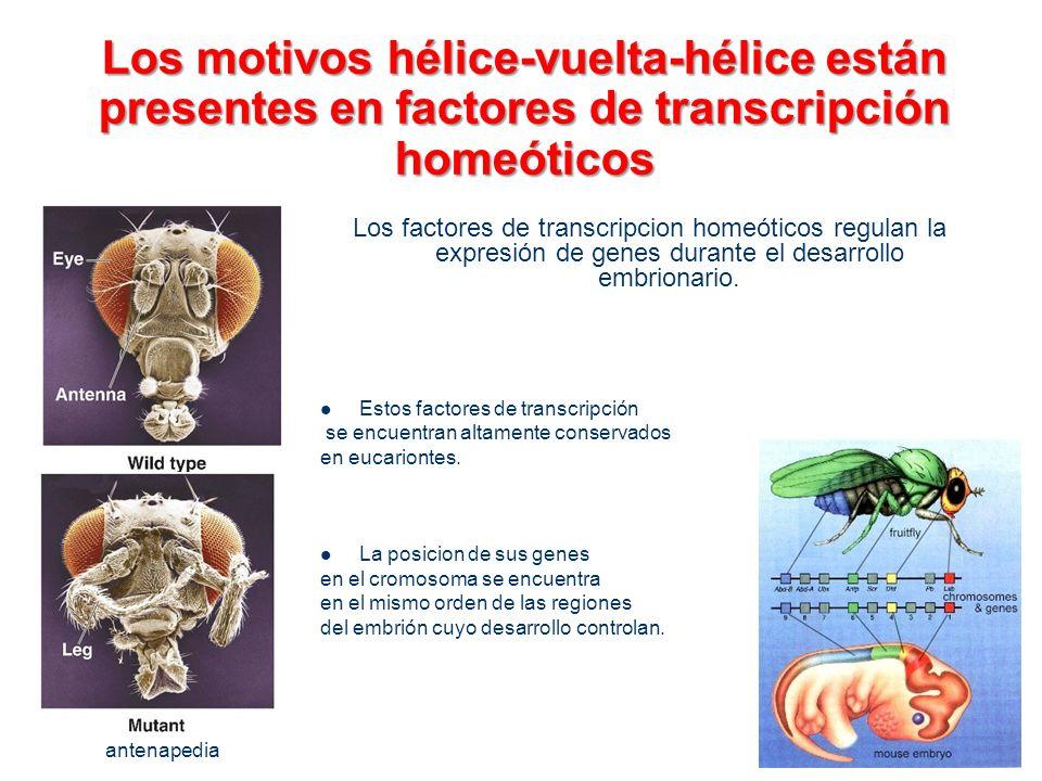 Los motivos hélice-vuelta-hélice están presentes en factores de transcripción homeóticos Los factores de transcripcion homeóticos regulan la expresión