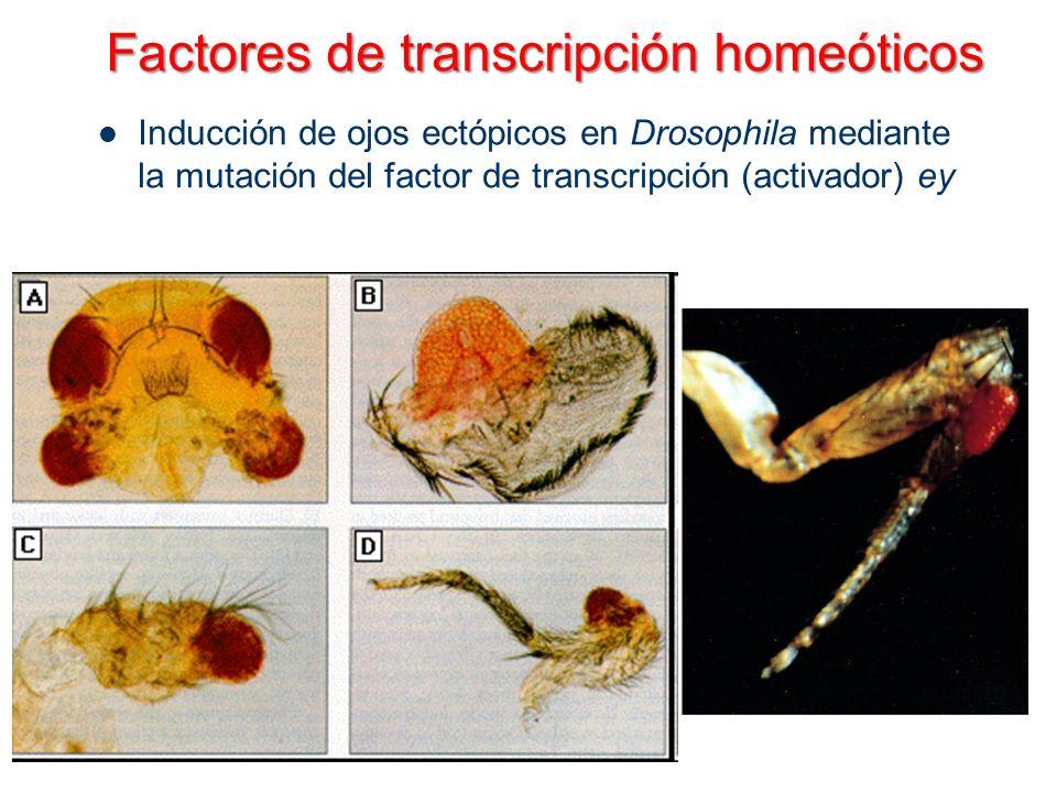 Inducción de ojos ectópicos en Drosophila mediante la mutación del factor de transcripción (activador) ey Factores de transcripción homeóticos