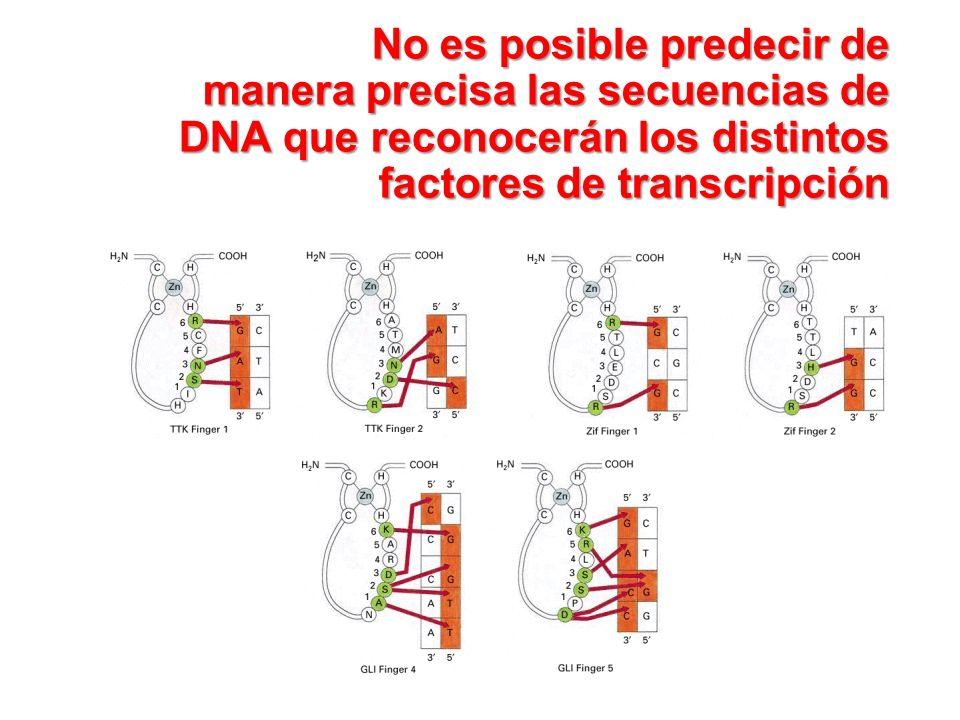 No es posible predecir de manera precisa las secuencias de DNA que reconocerán los distintos factores de transcripción No es posible predecir de maner