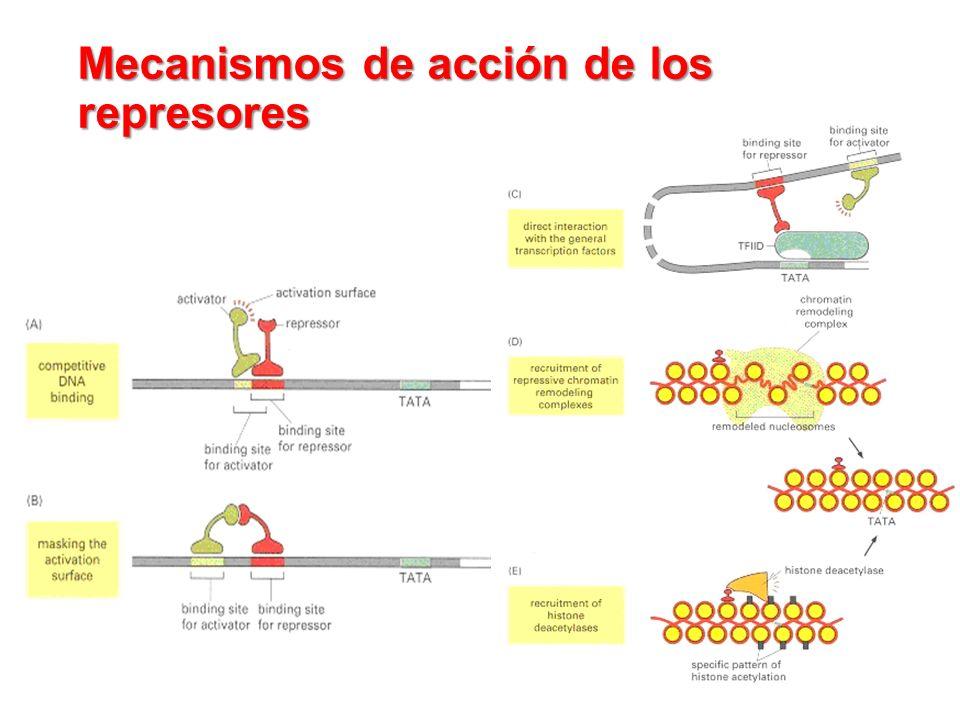 Mecanismos de acción de los represores