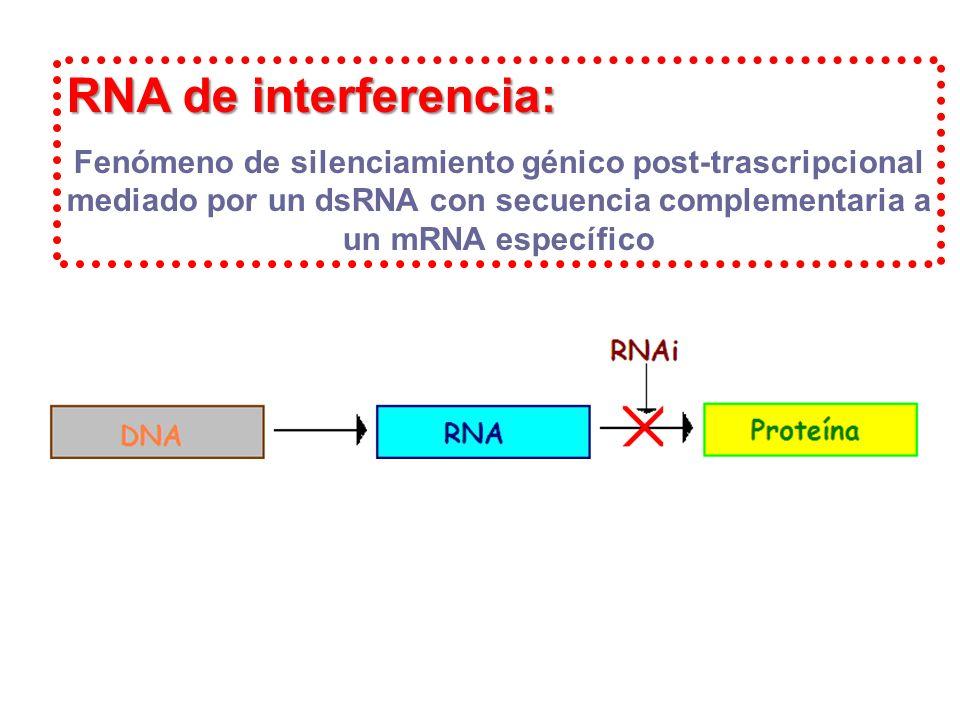RNA de interferencia: Fenómeno de silenciamiento génico post-trascripcional mediado por un dsRNA con secuencia complementaria a un mRNA específico