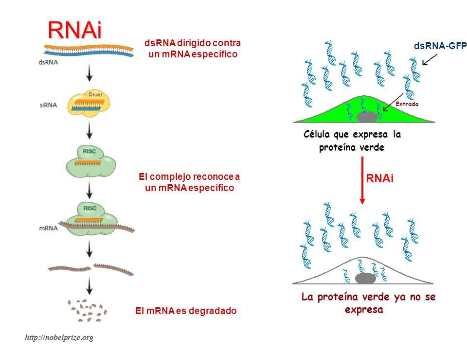 RNAi El mRNA es degradado dsRNA dirigido contra un mRNA específico El complejo reconoce a un mRNA específico RNAi dsRNA-GFP