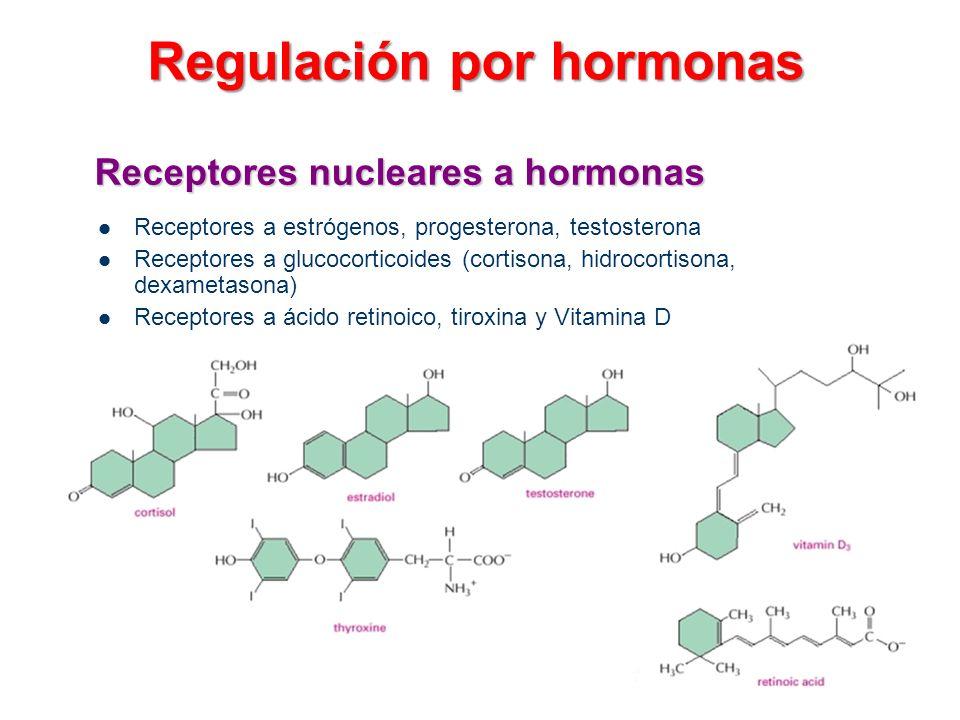 Receptores nucleares a hormonas Receptores a estrógenos, progesterona, testosterona Receptores a glucocorticoides (cortisona, hidrocortisona, dexameta