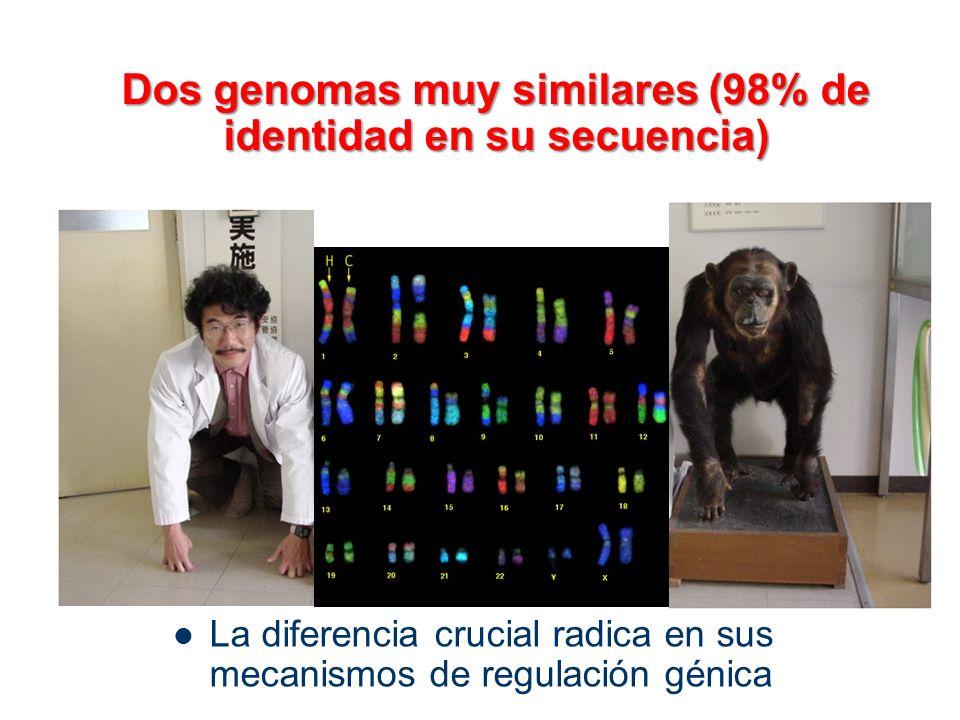 Dos genomas muy similares (98% de identidad en su secuencia) La diferencia crucial radica en sus mecanismos de regulación génica