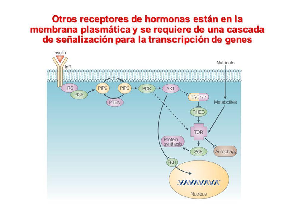 Otros receptores de hormonas están en la membrana plasmática y se requiere de una cascada de señalización para la transcripción de genes