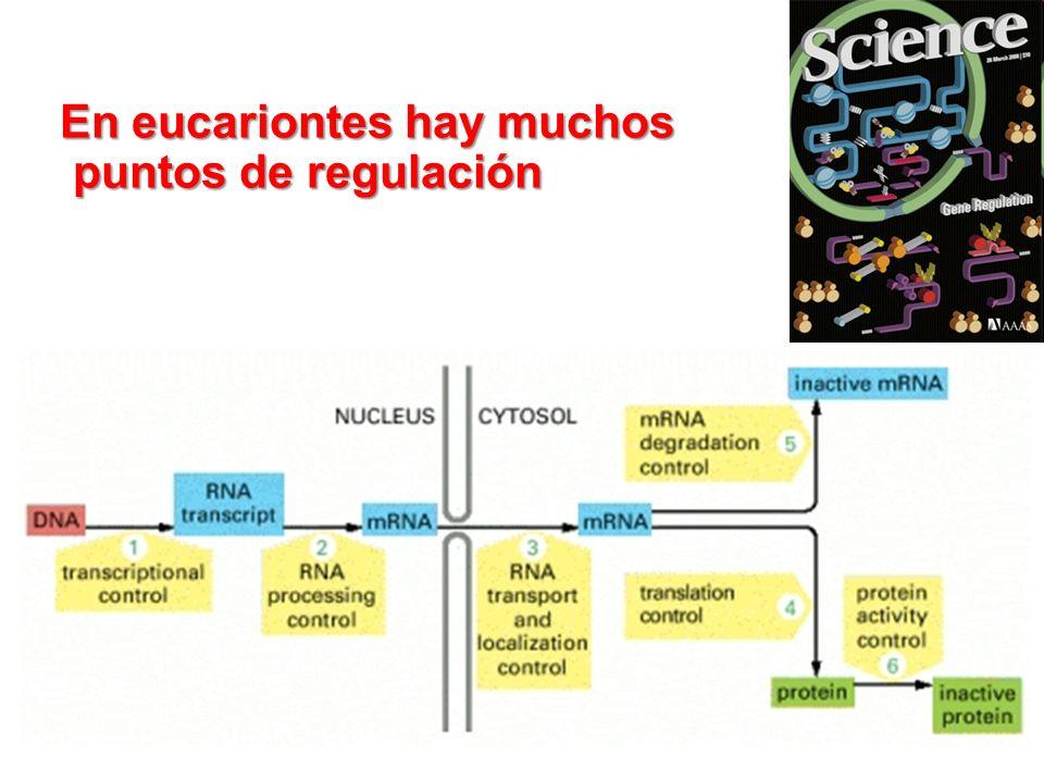 En eucariontes hay muchos puntos de regulación