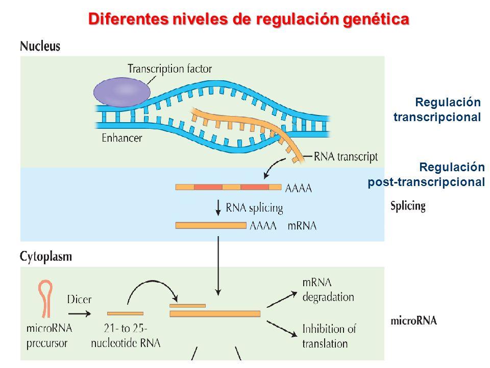 Diferentes niveles de regulación genética Regulación transcripcional Regulación post-transcripcional