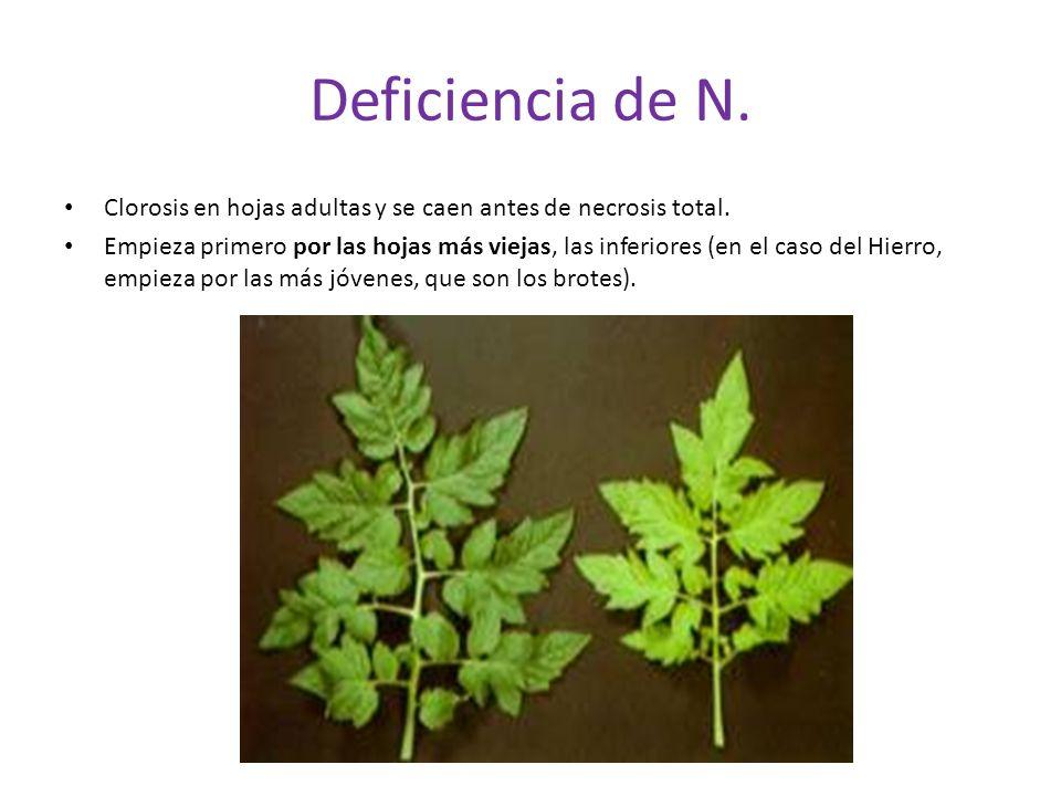 Deficiencia de N.Clorosis en hojas adultas y se caen antes de necrosis total.