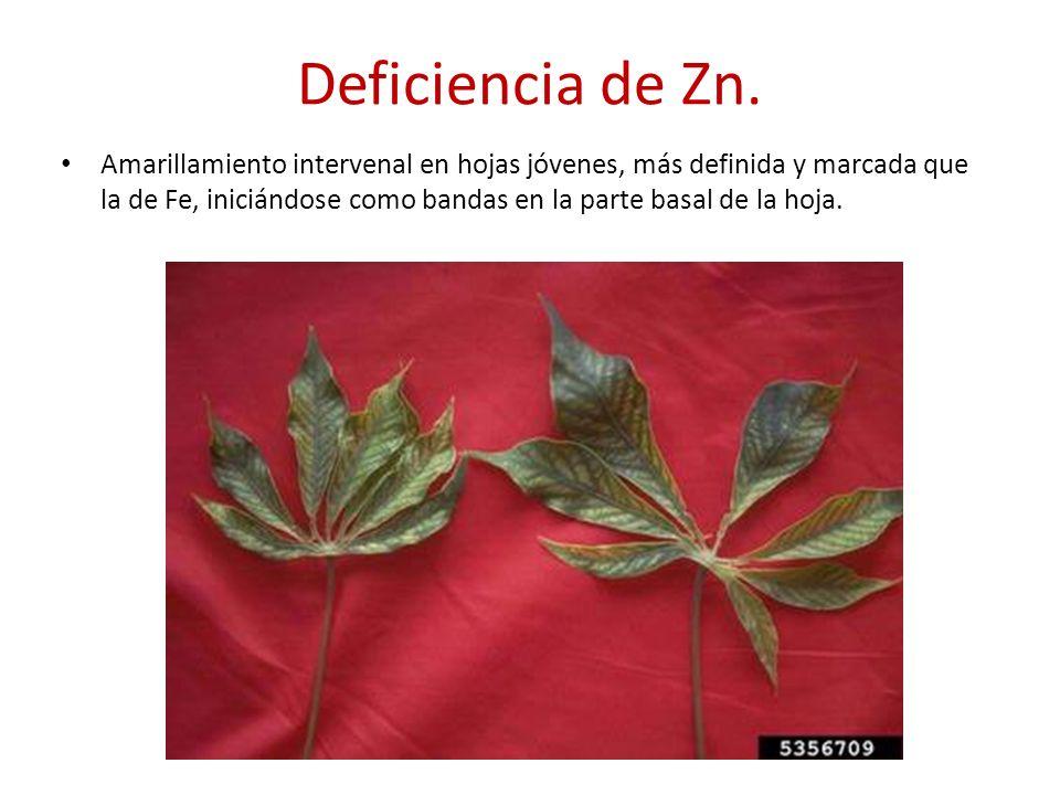 Deficiencia de Zn.