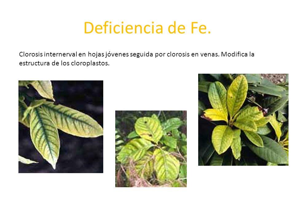 Deficiencia de Fe.Clorosis internerval en hojas jóvenes seguida por clorosis en venas.