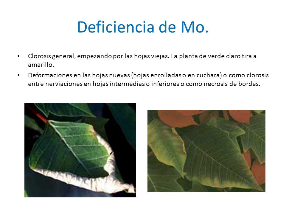 Deficiencia de Mo.Clorosis general, empezando por las hojas viejas.
