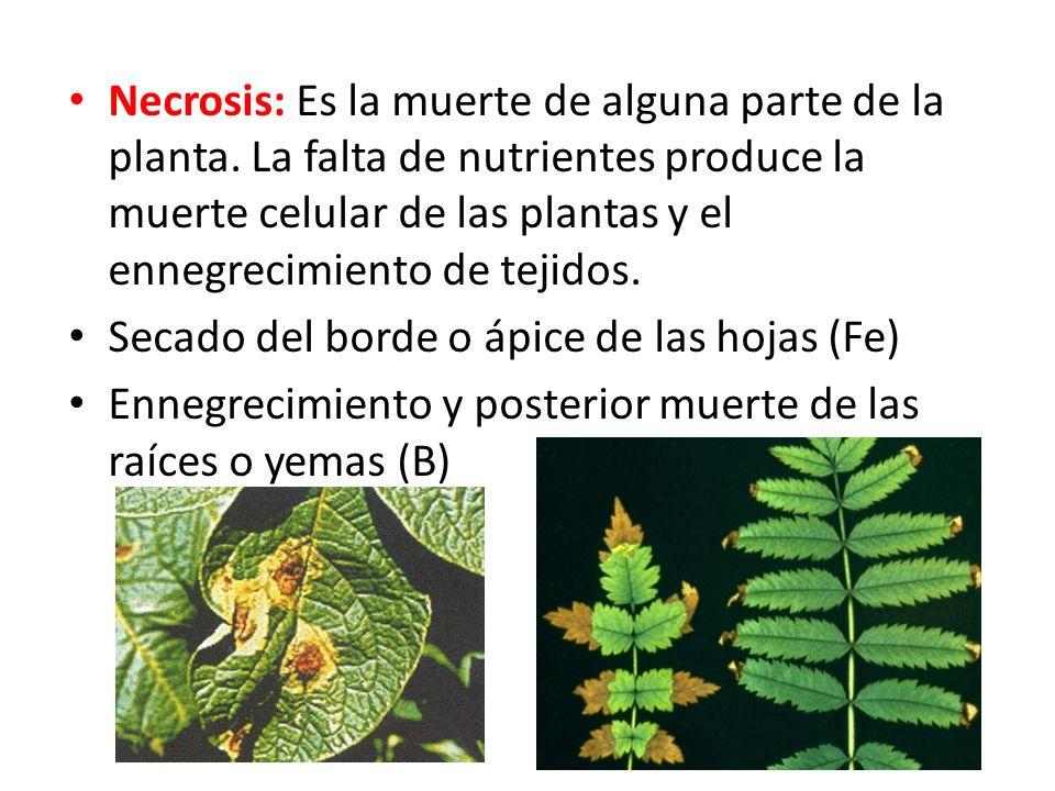 Necrosis: Es la muerte de alguna parte de la planta.
