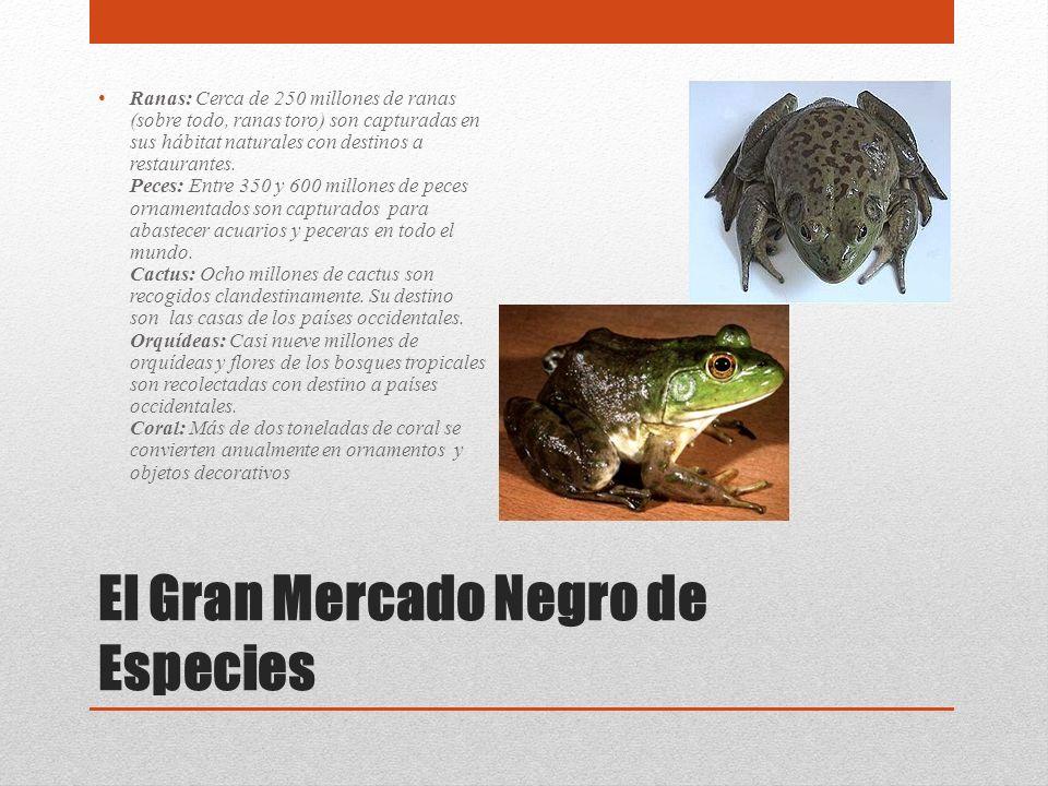 El Gran Mercado Negro de Especies Ranas: Cerca de 250 millones de ranas (sobre todo, ranas toro) son capturadas en sus hábitat naturales con destinos