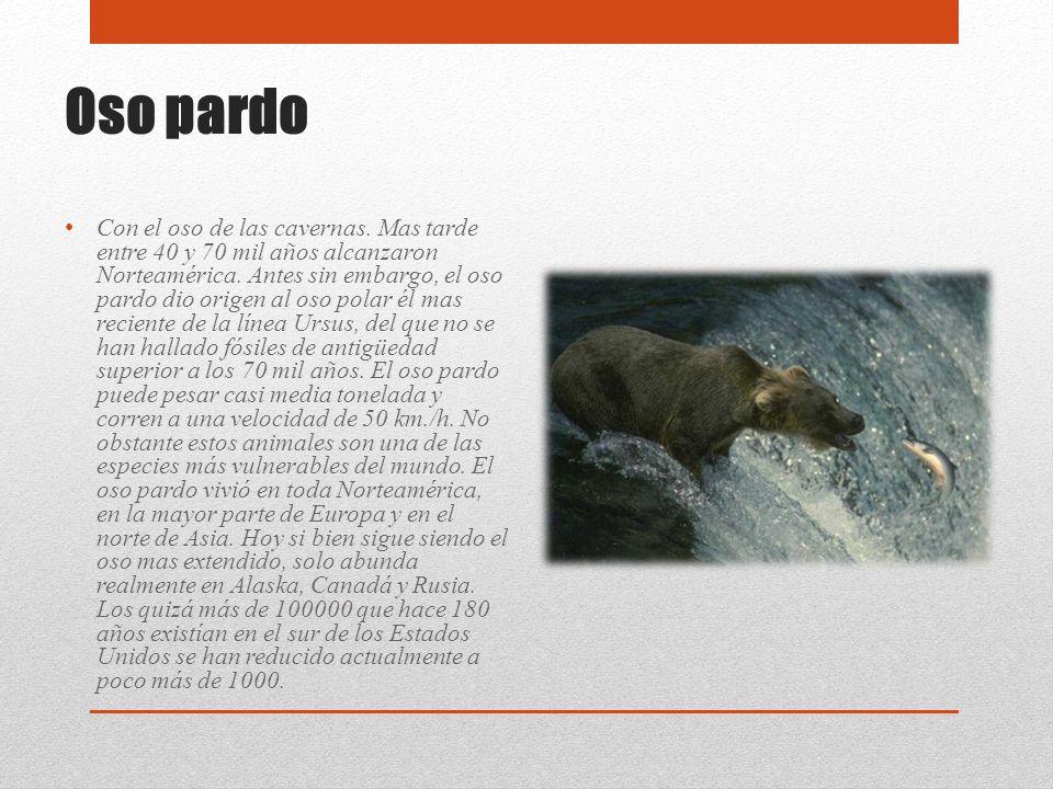 Oso pardo Con el oso de las cavernas. Mas tarde entre 40 y 70 mil años alcanzaron Norteamérica. Antes sin embargo, el oso pardo dio origen al oso pola