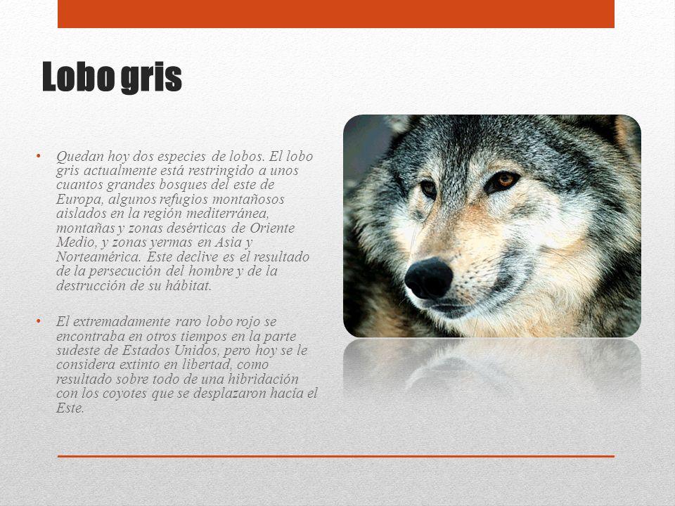 Lobo gris Quedan hoy dos especies de lobos. El lobo gris actualmente está restringido a unos cuantos grandes bosques del este de Europa, algunos refug