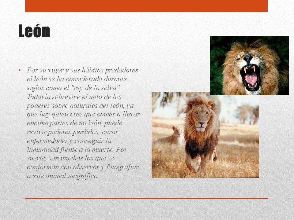 León Por su vigor y sus hábitos predadores el león se ha considerado durante siglos como el