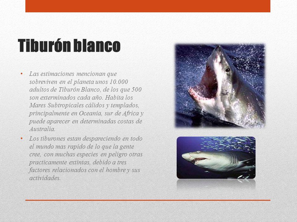 Tiburón blanco Las estimaciones mencionan que sobreviven en el planeta unos 10.000 adultos de Tiburón Blanco, de los que 500 son exterminados cada año