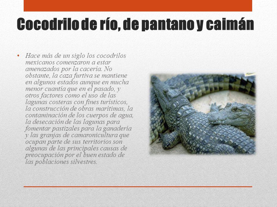 Cocodrilo de río, de pantano y caimán Hace más de un siglo los cocodrilos mexicanos comenzaron a estar amenazados por la cacería. No obstante, la caza