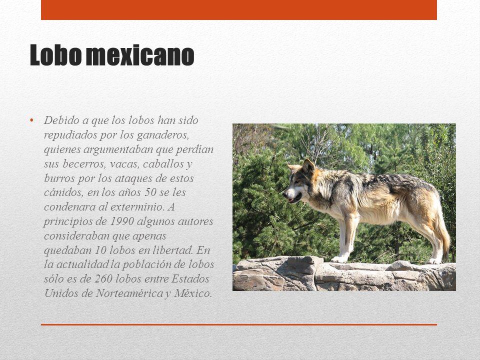 Lobo mexicano Debido a que los lobos han sido repudiados por los ganaderos, quienes argumentaban que perdían sus becerros, vacas, caballos y burros po