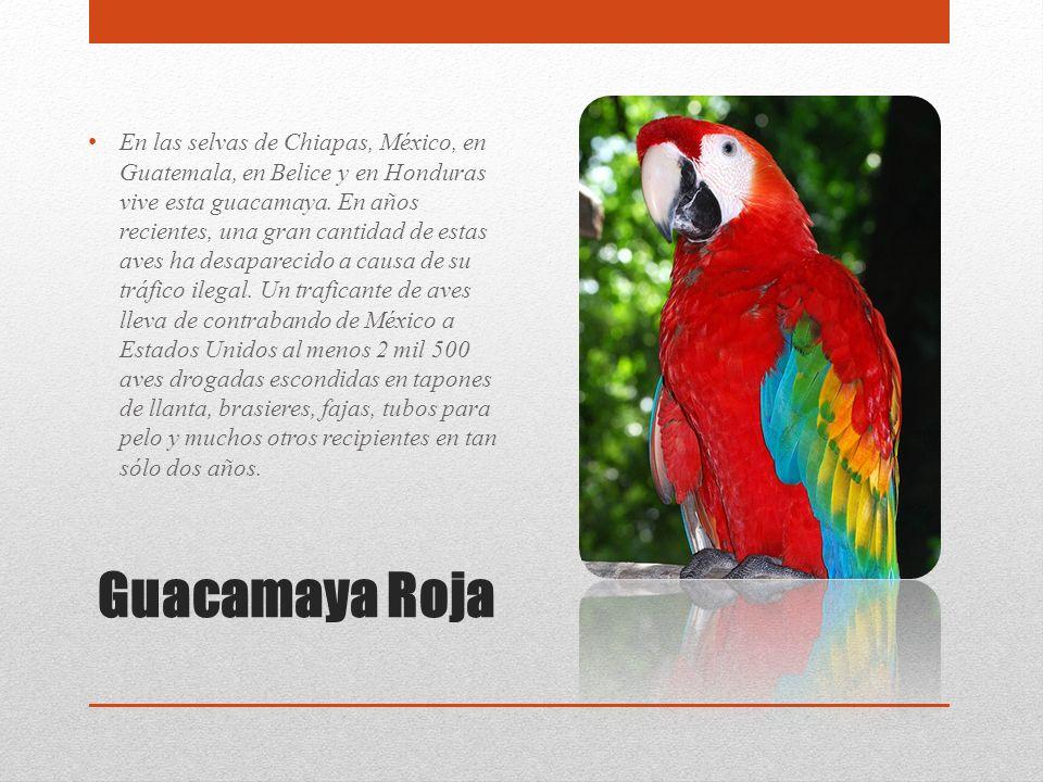 Guacamaya Roja En las selvas de Chiapas, México, en Guatemala, en Belice y en Honduras vive esta guacamaya. En años recientes, una gran cantidad de es